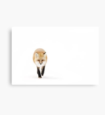 Fox on the move - Algonquin Park Canvas Print