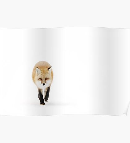 Fox on the move - Algonquin Park Poster