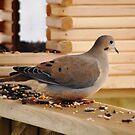 Mourning Dove at the Feeder by Diane Blastorah