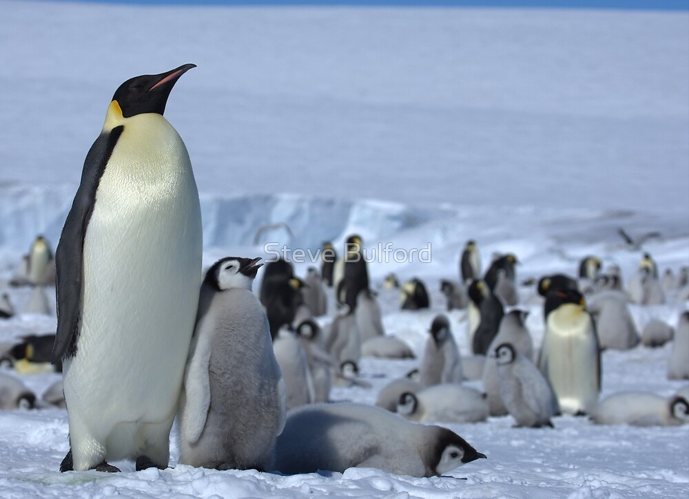 Emperor Penguin and Chicks - Snow Hill Island  by Steve Bulford