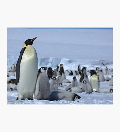 Emperor Penguin and Chicks - Snow Hill Island  Photographic Print