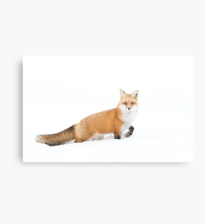 Red fox - Algonquin Park Metal Print