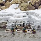 Mallards Swim By Icicles by Deb Fedeler