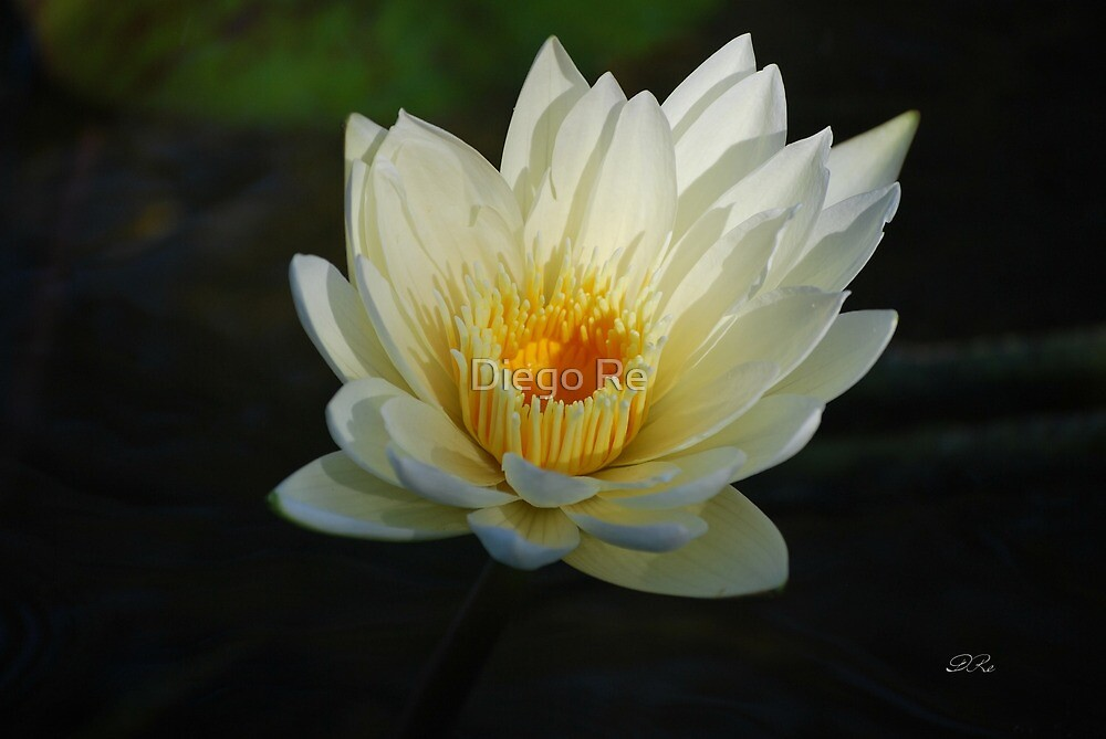 Snowy Water Lily by Diego Re