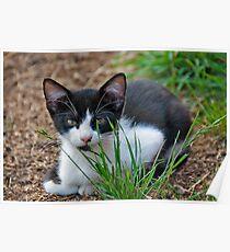 tuxedo kitten  Poster