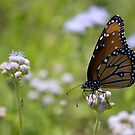 Monarch Butterfly On White Flowers by Diego Re
