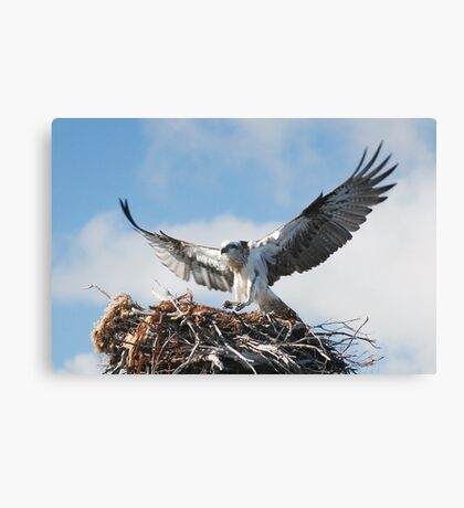 Returning to the nest - Osprey Canvas Print