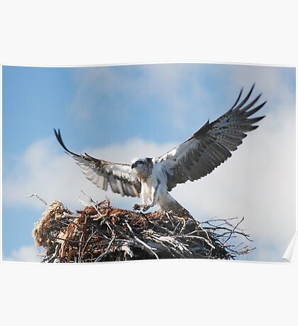 Returning to the nest - Osprey Poster