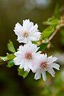 Cherry tree blossom. by Sara Sadler
