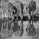Drinking silhouetted zebras by Anthony Goldman