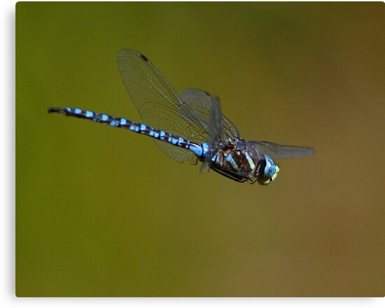 Dragonfly in Flight by WorldDesign