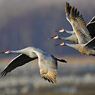 Sandhill Cranes in Flight by WorldDesign