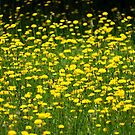field of gold by Rainydayphotos