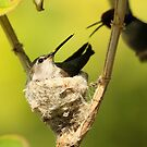 Male and Female Hummers Nesting by DARRIN ALDRIDGE