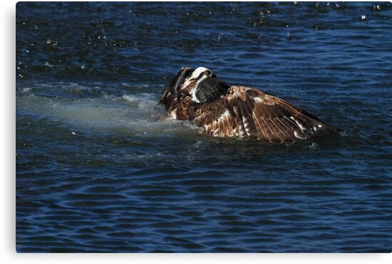 Osprey Goes For A Swim by DARRIN ALDRIDGE