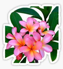 Pink Frangipani Flowers Photograph Sticker