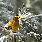 Evening Grosbeak - Algonquin Park by Jim Cumming