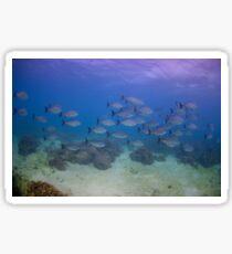 Highfin Rudderfish, Ningaloo Reef Sticker