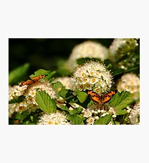 Nectaring Pearl Crescents Photographic Print