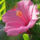Hibiscus by June Holbrook