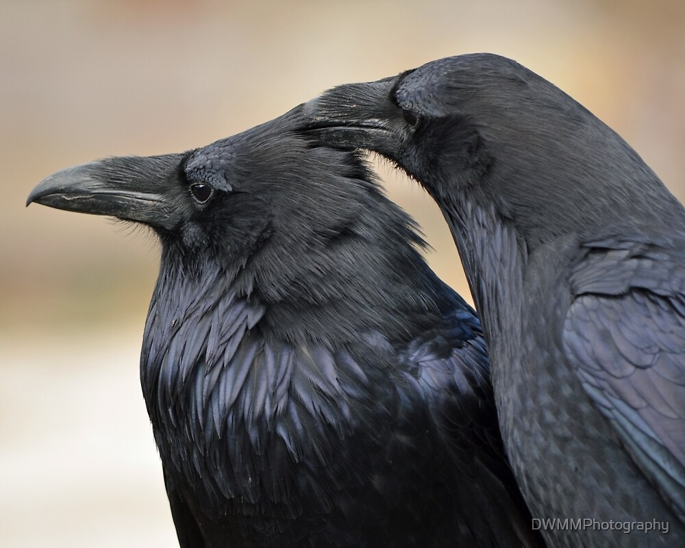 Ravens with a scratch by DWMMPhotography