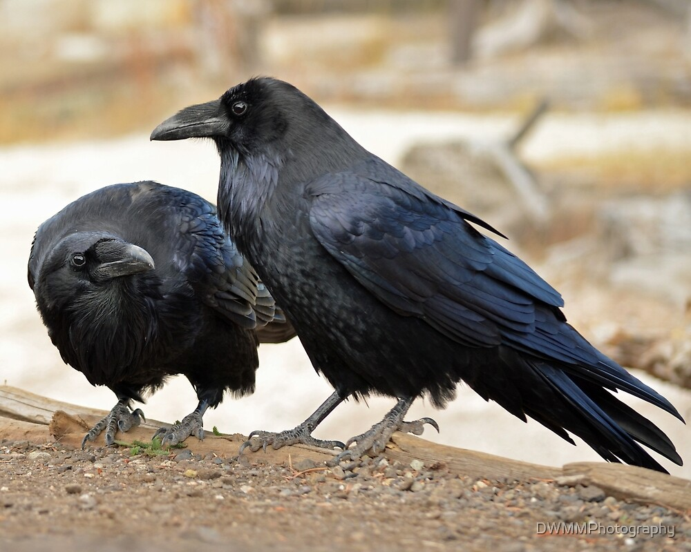 Roaring Mountain Raven Pair by DWMMPhotography