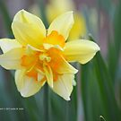 Narcissus Tahiti   Center Moriches, New York by © Sophie W. Smith