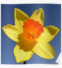 Yellow and Orange Colored Daffodil Close Up Poster