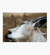 Goats Eat Anything, and I'm a Goat! Photographic Print