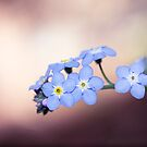 Forget-Me-Nots In The Spotlight by Josie Eldred