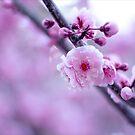 Cherry Blossom Days by Josie Eldred