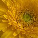 Yellow Gerbera by Sandra Chung