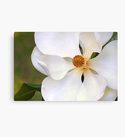 Southern Magnolia 2 Canvas Print
