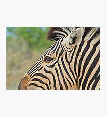 Zebra - African Wildlife - Tranquility Pose Photographic Print