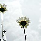 Daisies Three by Scott Mitchell