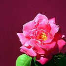Beautiful Pink Rose by June Holbrook