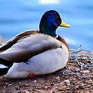 A Male Mallard Duck by Carla Jensen