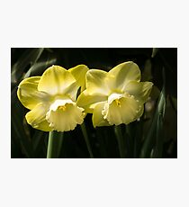 Sunny Pair - Glowing Mellow Yellow Narcissus Blooms Photographic Print