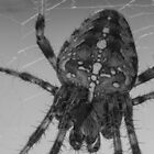 European garden spider by Sara Sadler