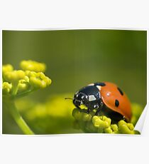 Ladybird close up on a plant Poster