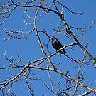 Starling in Spring by ienemien