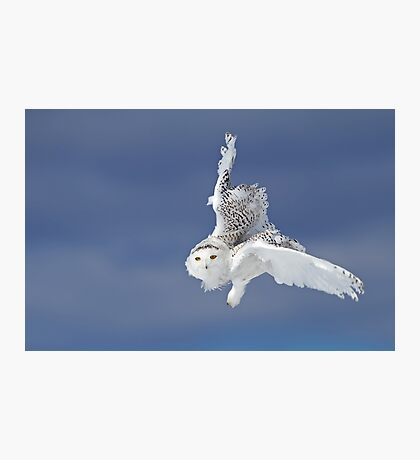 Flight of the Snowy Owl  Photographic Print