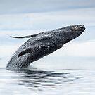 Breaching Humpback Whale by Gina Ruttle  (Whalegeek)