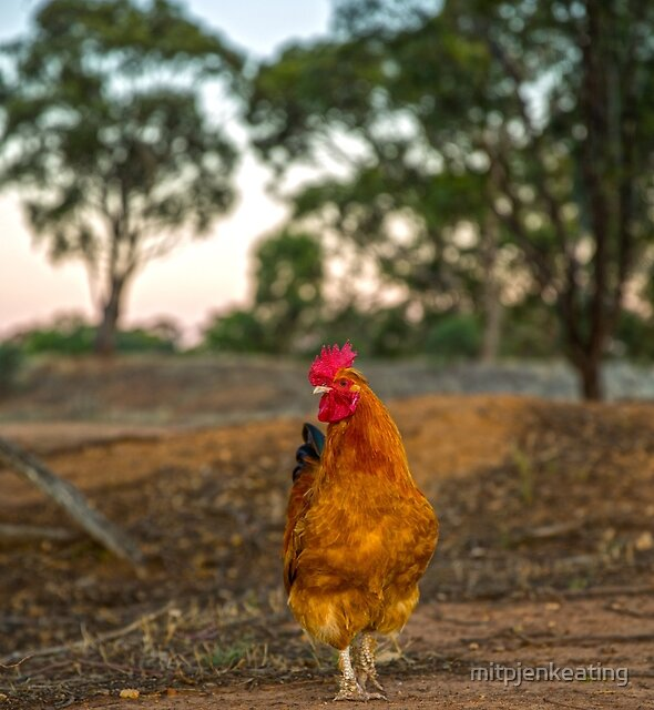 Rooster... by mitpjenkeating