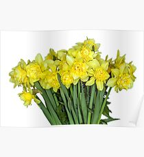 Yellow narcissus in white Poster