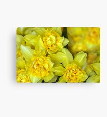 Yellow narcissus macro Canvas Print