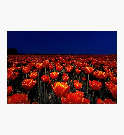 Field of Red Tulips Photographic Print