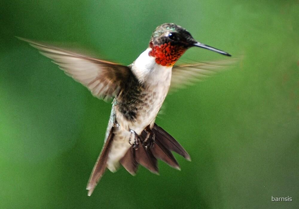 Male Hummingbird by barnsis