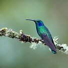 Green Violetear Hummingbird - Costa Rica by Jim Cumming