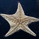 Starfish by autumnleaf